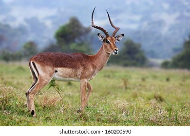 Handsome and alert Impala antelope ram or buck with long horns