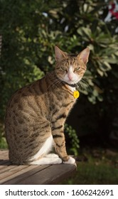 Handsome Arabian Mau rescue cat with a municipality tag sitting on a table in a garden in Dubai