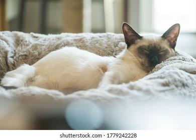 handsome balinese cat sleeping in cat bed