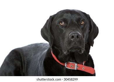 Handsome Black Labrador against White Background