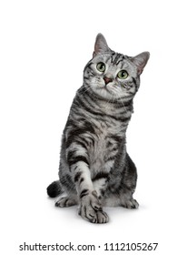 Handsome black silver tabby British Shorthair cat sitting / playing with one paw lifted isolated on white background and looking up