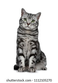 Handsome black silver tabby British Shorthair cat sitting straight up isolated on white background and looking at camera