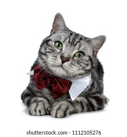Handsome black silver tabby British Shorthair cat slaying down wearing a gala party white collar with red tie bow isolated on white background and looking at camera