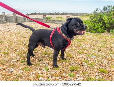 A handsome black Staffordshire Bull Terrier standing on a pebble beach with groynes,  wearing a red harness.