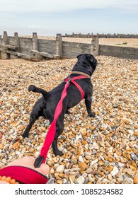 A handsome black Staffordshire Bull Terrier standing on a pebble beach with groynes,  pulling on a red harness.