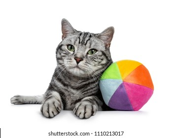 Handsome black tabby British Shorthair cat with green eyes laying down with colorful toy ball from sorft material looking at lens isolated on white background