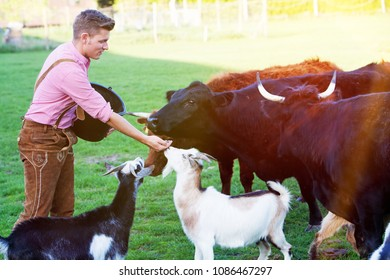 handsome blond bavarian man feeding cows and goats