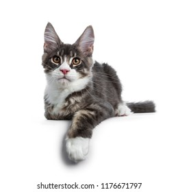 Handsome blue tabby with white Maine Coon cat kitten laying down facing front with one paw hanging over edge, looking curious straight in lens isolated on white background
