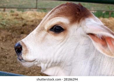 Handsome Brahma Bull