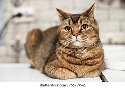 A handsome British shorthair fat cat looks with interest at the camera, on a blurry background. Close-up.