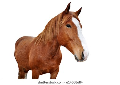 Handsome brown horse isolated on white background.