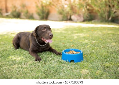 Handsome chocolate labrador feeling hungry sitting with dog food bowl in park.