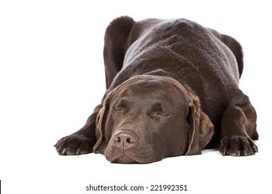 Handsome Chocolate Labrador - Let Sleeping Dogs Lie