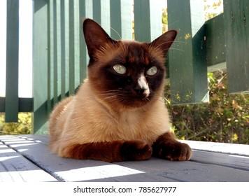 Handsome chocolate point burmese cat