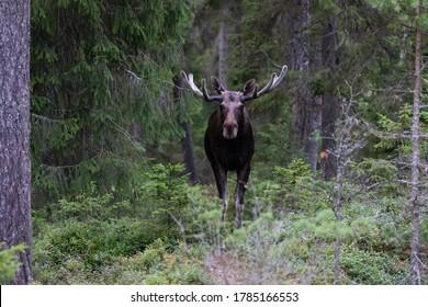 Handsome elk in the forest. Summer in Finland. Finnish moose