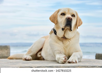 A handsome english yellow labrador retriever, still damp, and tired after playing vigorously in the ocean, takes a rest while striking adorable poses.