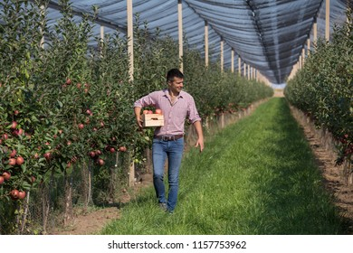 Handsome farmer with crate walking in modern apple orchard