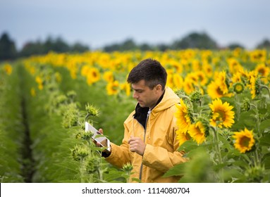 Handsome farmer holding tablet and standing in sunflower field with fresh yellow flowers in early summer