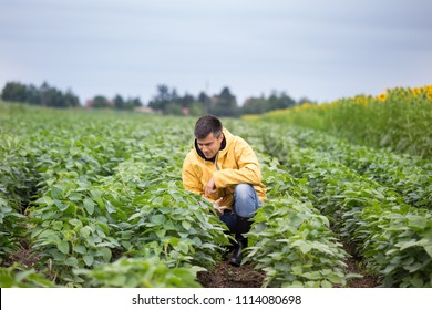Handsome farmer squatting in soybean field and checking for crop quality