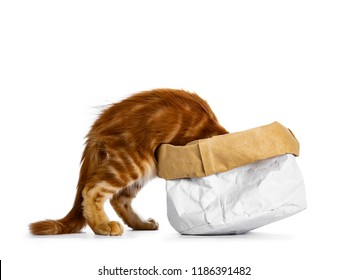 Handsome funny red Maine Coon cat kitten climbing in /disappear / looking / searching for something in a paper bag, isolated on white background