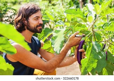 handsome gardener harvesting an eggplant