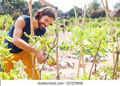 handsome gardener taking care of vegetable plants