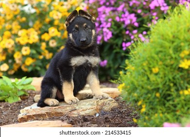 A handsome German Shepherd puppy sits on a rock pathway in a beautiful garden.