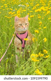 Handsome ginger tabby cat in harness surrounded by yellow wildflowers