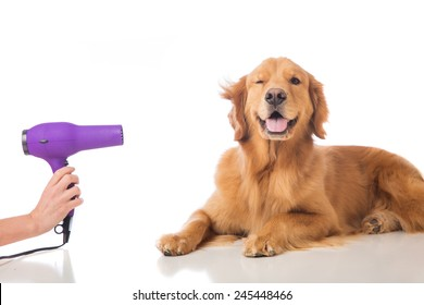 A handsome golden retriever dog getting his fur dried with a blower at the groomer.