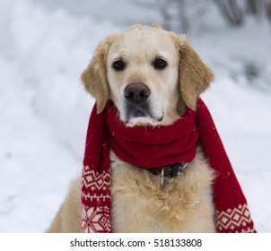 Handsome golden retriever dog wearing a scarf sitting on snow coat. Winter in park. Square, selective focus.