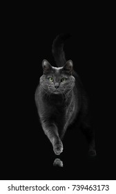 A handsome gray cat of the Russian blue breed goes forward to the camera, it appears from the dark.