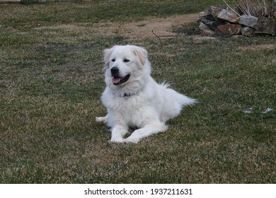 A handsome great Pyrenees named Rett