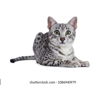 Handsome green eyed silver spotted Egyptian Mau cat kitten laying down isolated on white background looking straight at lens
