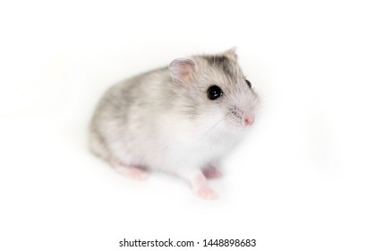 A handsome hamster isolated on a white background. Exotic pet. Mouse rodent pest. Eats dried fruits and seeds