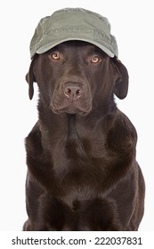 Handsome Labrador in Green Army Style Baseball Cap