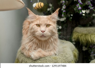 Handsome Maine Coon