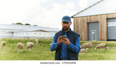 Handsome male Caucasian hands holding and texing message on smartpphone outdoors. Sheep at grazing pasture on background.
