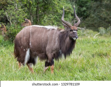 Handsome Male Nyala antelope with beautiful shaggy coat and curved horse