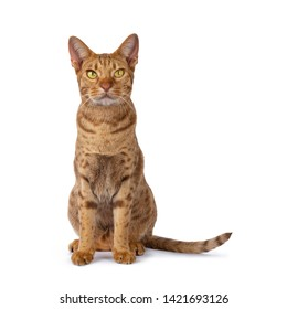 Handsome male Ocicat, sitting up facing front. Looking above camera with bright yellow eyes. isolated on white background.