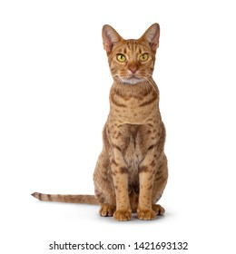 Handsome male Ocicat, sitting up facing front. Looking beside camera with bright yellow eyes. isolated on white background.