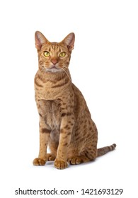 Handsome male Ocicat, sitting up half side ways facing front. Looking beside camera with bright yellow eyes. isolated on white background. - Shutterstock ID 1421693129