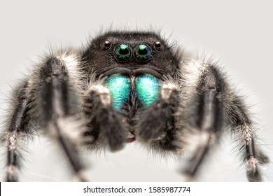 Handsome male Phidippus audax, Bold Jumping Spider, with his bright green chelicerae