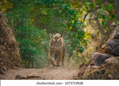 A handsome male tiger on an evening stroll, Ranthambore National Park