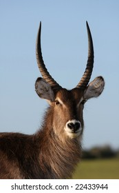 Handsome male waterbuck antelope with long horns against blue sky