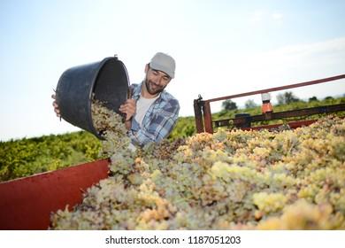 handsome man farmer in the vine, harvesting grapes during wine harvest season in vineyard