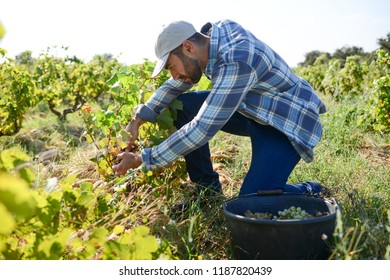 handsome man farmer in the vine, harvesting grapes during wine harvest season in vineyard