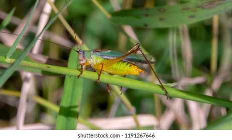 A Handsome Meadow Katydid decorated with striking colors climbs in the lush grasses and vegetation in a Virginia marsh.