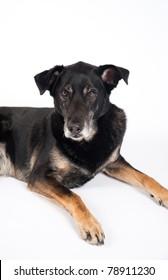 Handsome Old Black Dog Isolated on White Background