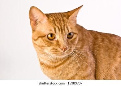 Handsome orange tabby cat shot against a neutral background.