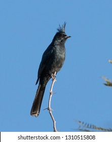 A handsome Phainopepla (Phainopepla nitens) perched on an acacia branch at the Salton Sea in California
